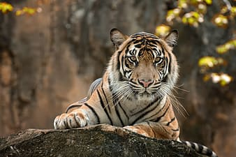 Tiger lying on gray rock