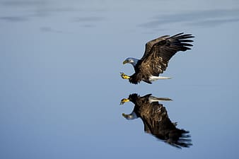 Flying eagle near body of water