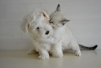 Short-coated white puppy and cat on focus photo