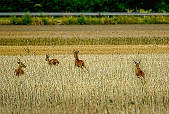 Four antelope running on green grass field
