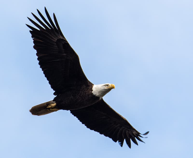 Black and white eagle flying during daytime