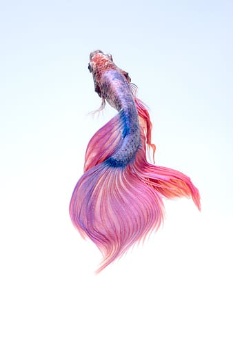 Pink and blue Siamese fighting fish