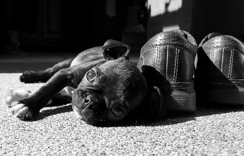 Pug puppy lying beside leather shoes