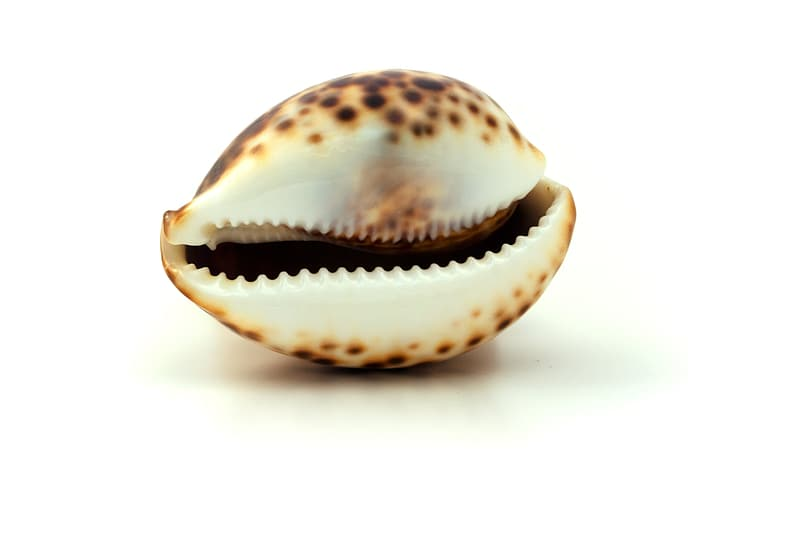 White and brown seashell