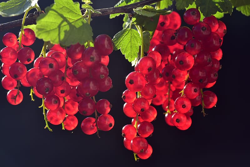 Red round fruits with green leaves