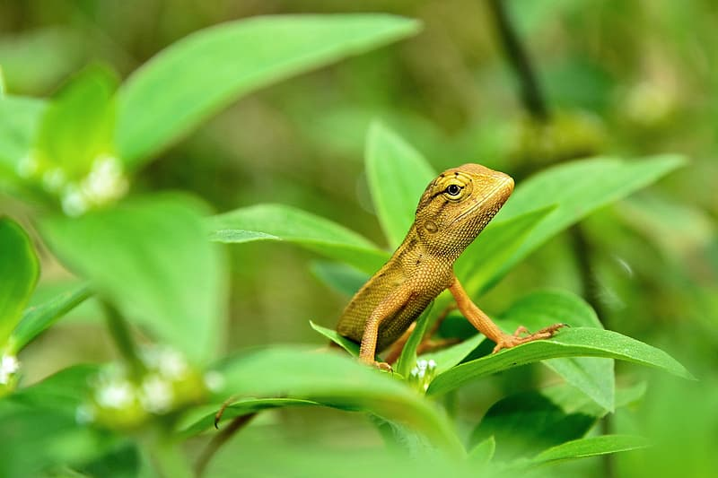 Brown lizard on green leaves