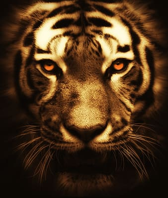 Portrait photography of tiger