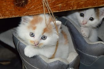 Two white-and-orange kittens