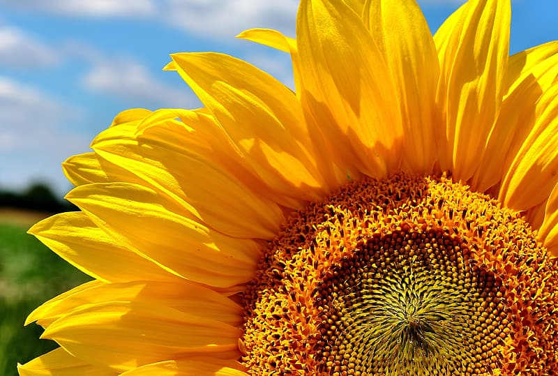Sunflower photography during daytime