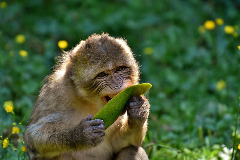 Brown monkey eating green fruit
