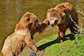 Two brown bears near lake