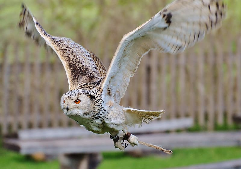 Panning photography of barn owl