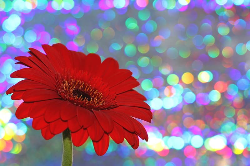 Red daisy in bokeh photography