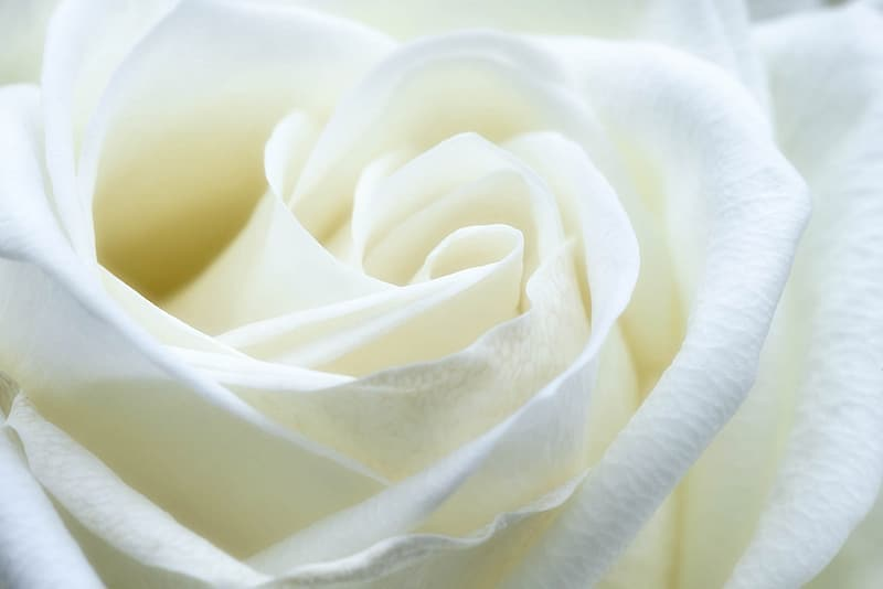 Macro photography of white rose flower