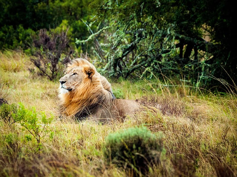 Lion in the forest