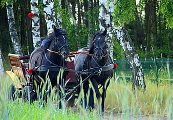 Black horse running between green grass with carriage