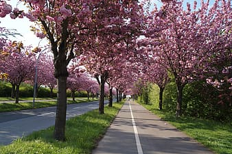 Roadway surrounded by cherry blossom trees