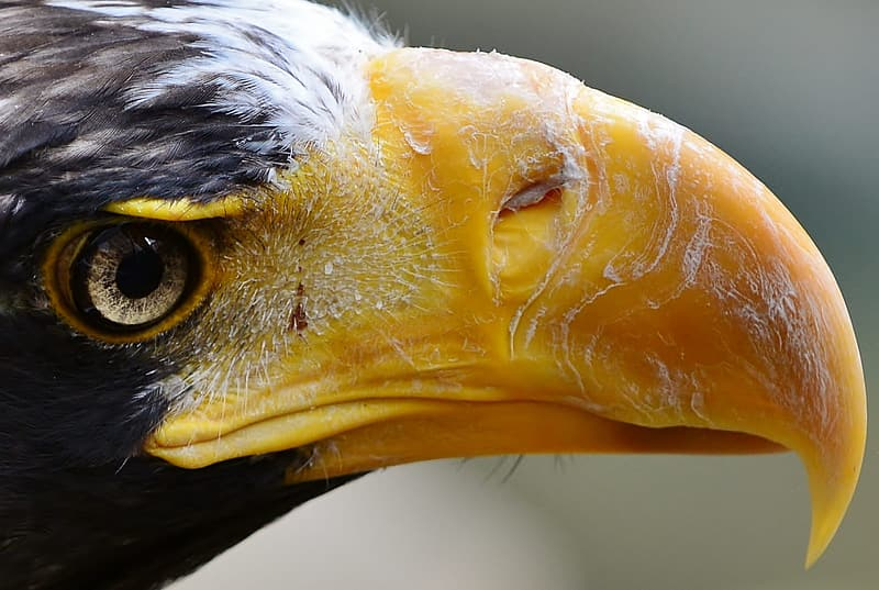 Extreme Eagle Close-up, black and yellow bird