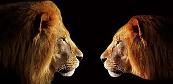Two lion and lioness photo