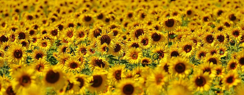 Landscape photo of Sunflower flowers during daytime