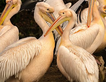 White pelicans on brown soil