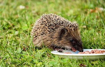 Brown echidna eating food in plate on grass
