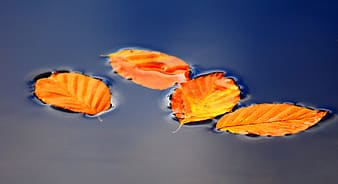 Dried leaves on calm water
