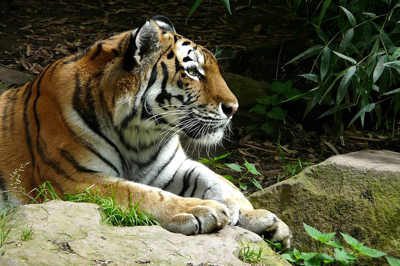 Tiger laying on rock surface