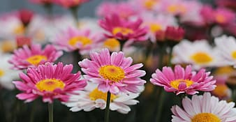 Pink and white daisies in bloom at daytime