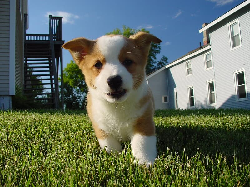 White and brown corgi puppy on green grass field during daytime
