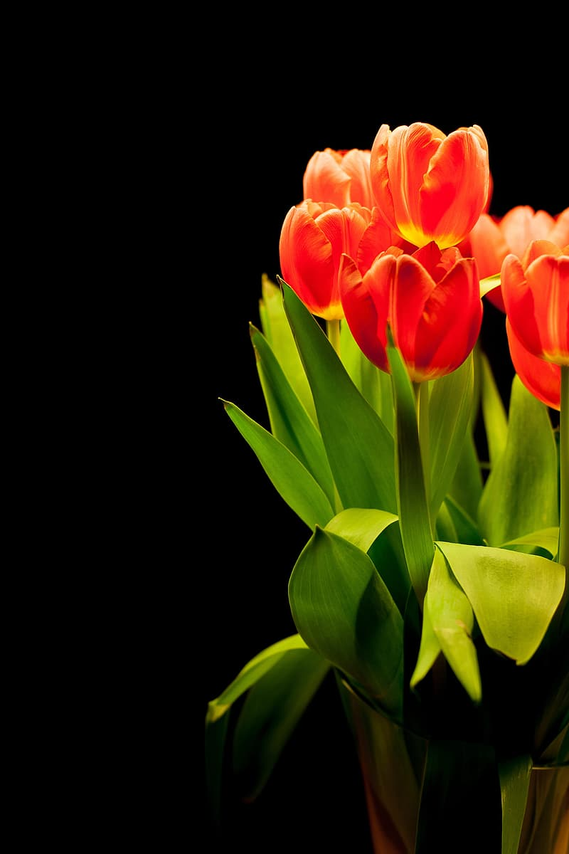 Closeup photo of red tulips