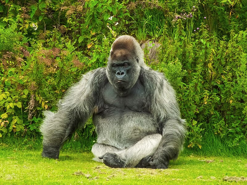Grey and black gorilla seats on green grass