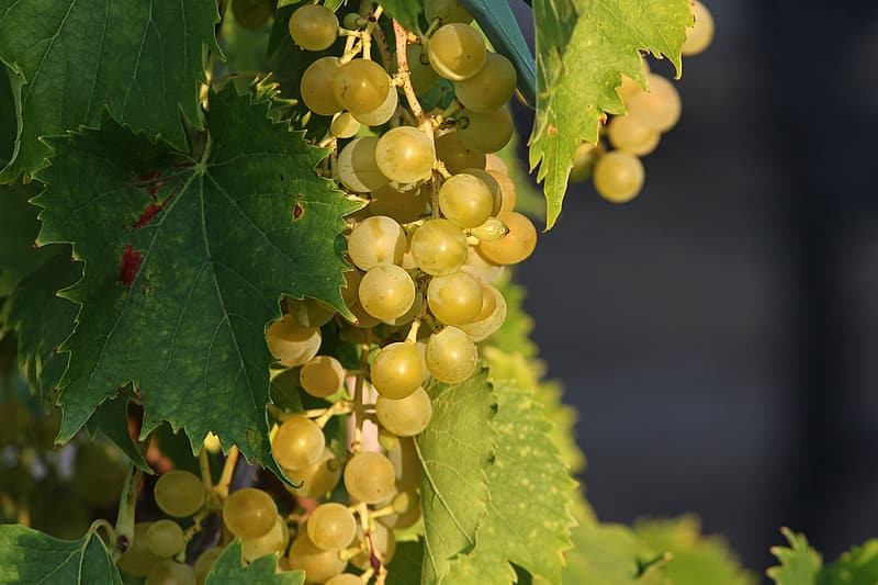 Green grapes in close up photography