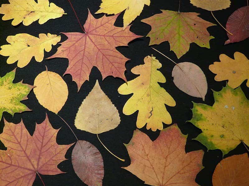 Yellow and brown maple leaves