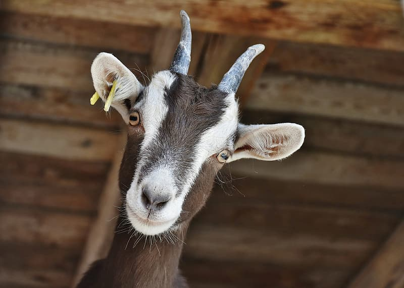White and black goat in close up photography