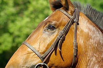 Close up photo of brown horse head