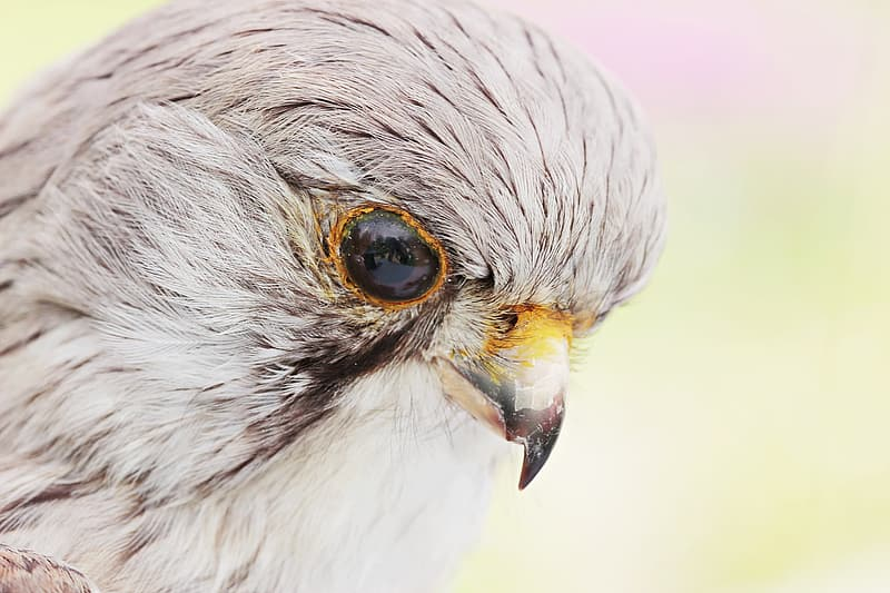 Close-up photography of grey falcon
