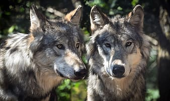 Two gray and white wolves