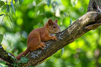 Brown squirrel on tree branch during daytime