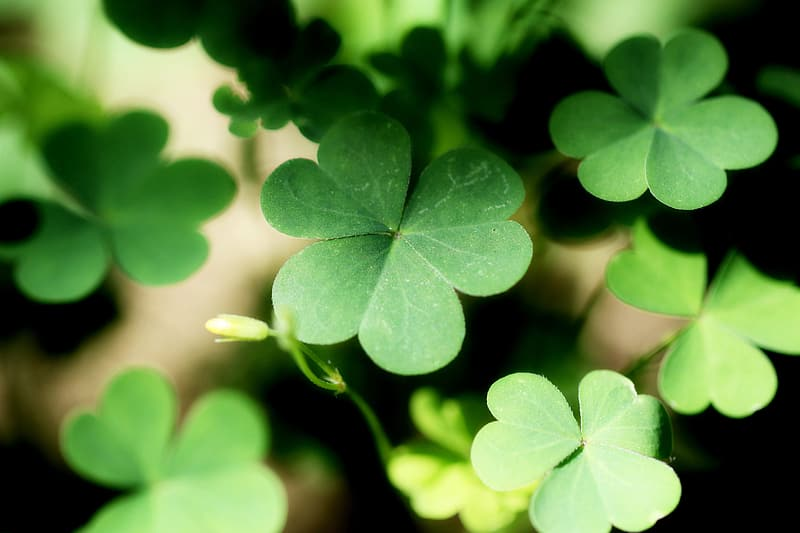 Green clover plant