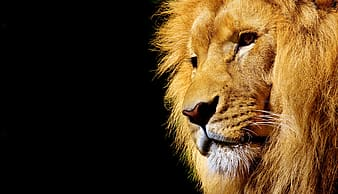 Close up photo of lion