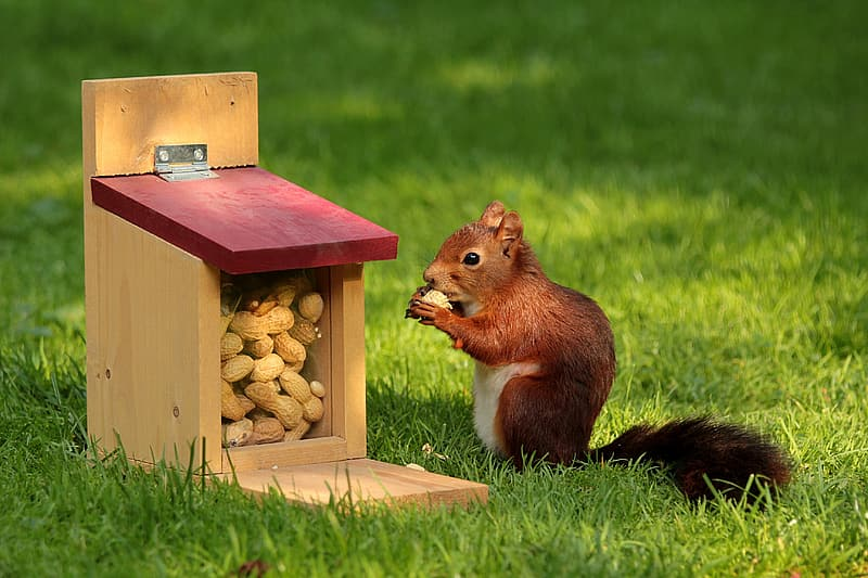 Close up photo of red squirrel eating nuts