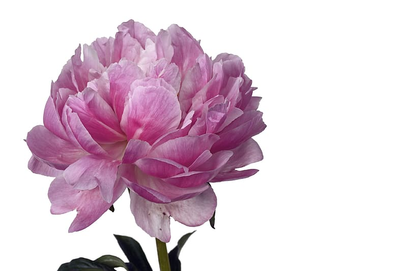 Pink peony flower in close up photography