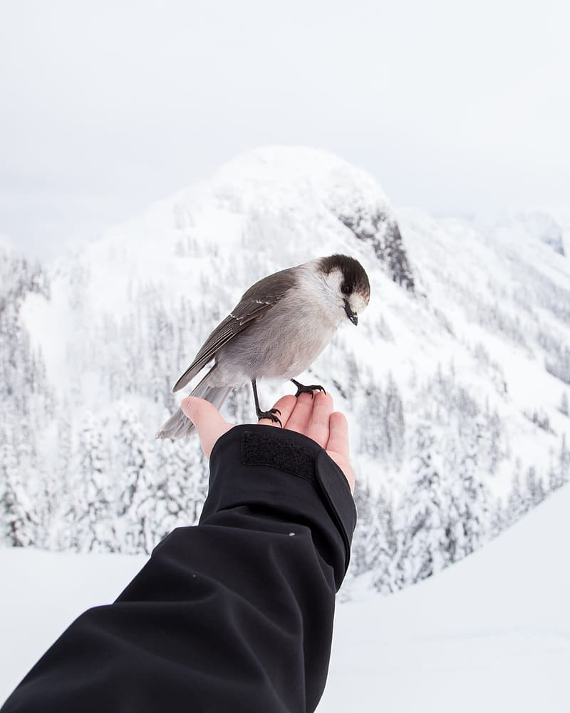 Black-capped Chickadee perching on human finger