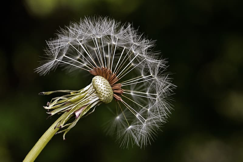 White dandelion seed head in close up photography