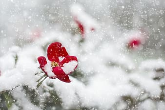 Red petaled flower covered in snow