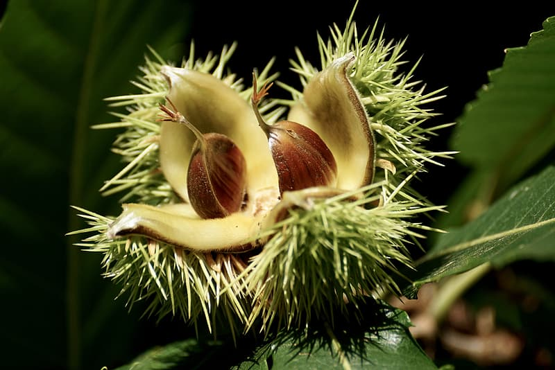 White, brown, and green spiky fruit in close-up photography