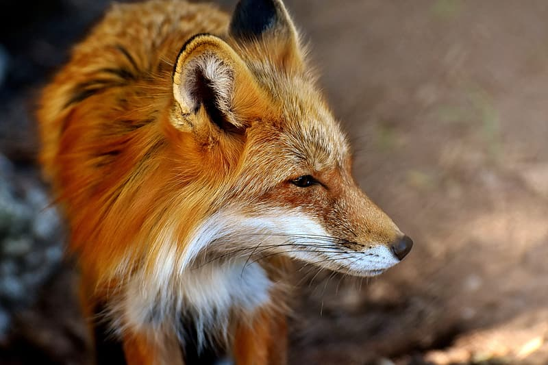 Close up photography of red fox
