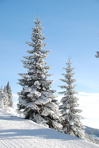 Two trees covered by snow