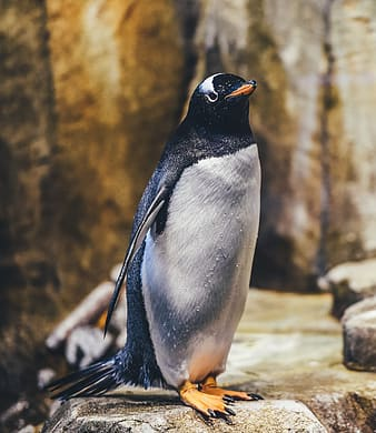 Closeup photo of penguin standing near rock